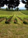 Vineyards of Mangiacane in Tuscanny, Photo by Zachary Kramer, used with permission by the Honors Program at Ferris State